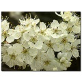 wildplum tree wildflower white
