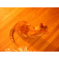 orange cat josefina orangecat joeyfph wood floor stripes milibuhscatclub