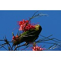 animal lorikeet eating