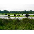 netherlands naardermeer water view cow nethx naarx waten viewn cowx