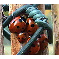 a gathering of ladybirds. they have been huddled together for about a week..i thought they may be...