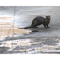 otter animal nature critter ice water