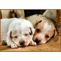 pups dogs Lucknow