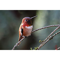 rufous hummingbird backyard bird