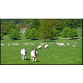 shadesofgreenfriday funfriday chatsworth sheep