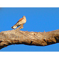 fridaytheme birdfriday brown falcon perth hills littleollie
