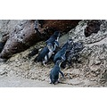 The little blue pengiuns at Oamaru I have just started as a pengiun advocate making sure these p...