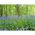 woods bluebells green