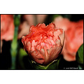 stlouis missouri us usa landscape plants flower pink macro carnation bh 2008