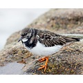 Turnstone Rock Bird Sea