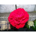 Rose Large Red Beautiful Neighbours Flower