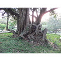 tree gnarled trunk roots