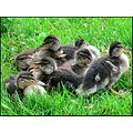 birds mallard duck ducklings