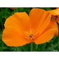 flower nature orange macro closeup