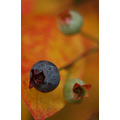 blueberries berries fall autumn