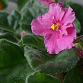 Janey's African Violet
