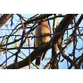 Waxwing sitting in a tree by the River Wandle at Merton Abbey Mills.   They are beautiful birds. ...