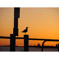 bird seagull sunset perth littleollie