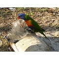 australia wildlife birds rainbow lorikeet