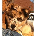 husky aussie australian shepherd dog puppy molly