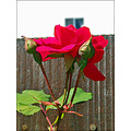 rose red redfph garden gardenfph summer fence