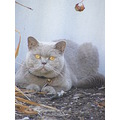 british shorthair cat feline animal family pet