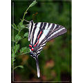 zebraswallowtail butterfly nature