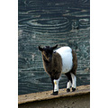 A funny little goat.