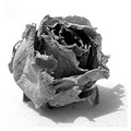 An old, dried-out rosebud.  Photographed yesterday evening.