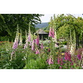 foxgloves at rosemoor garden