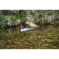 dartmoor rivers goosander ducks