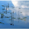 reflectionthursday reflection water waterplant sky clouds