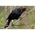 Brownheaded cowbird Molothrus ater Burnaby Lake birds
