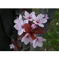 blood plum blossoms spring