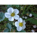 wildstrawberries lavacanyon