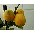 lemon tree garden nature