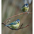 birds bluetits rosemoor devon