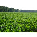 grow growing beet summer field