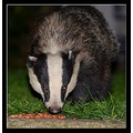 badger animal somerset