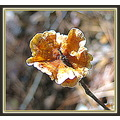 Fall colors........fungus on a stick or ruffled popsicle,  It's cool enough now to roam the woods...