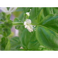 macro closeup basil flower