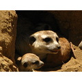 meerkcat and kids