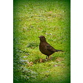AnimalMonday blackbird
