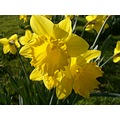 Spring daffodils - at last