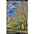 stlouis missouri usa spring seasons color tree flowers vibrant hdr white 031812