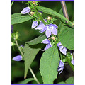 tallbellflower wildflower violetblue nature