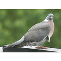 pigeon luxembourg