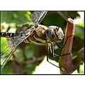 insect dragonfly closeup