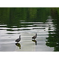coots water reflection