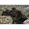 upstate newyork road autumn fall foliage fabius park trail tree stump